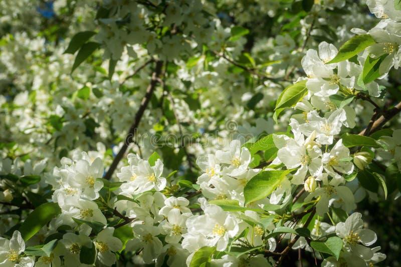Jabłczani kwiaty obrazy stock