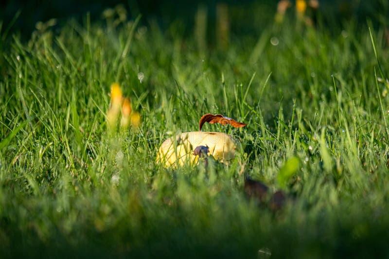 jabłczany żniwo na ziemi w domu na wsi ogródzie obraz royalty free