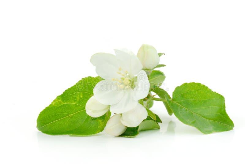 jabłczany kwiat fotografia stock