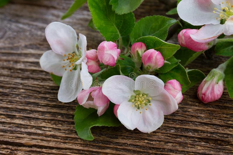 jabłczany okwitnięcia zakończenia drzewo jabłczany fotografia stock