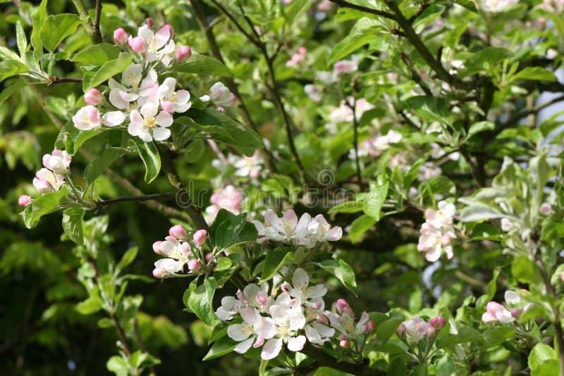 jabłczany okwitnięcia zakończenia drzewo jabłczany zdjęcie stock