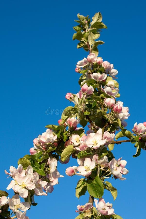 jabłczany okwitnięcie zdjęcie royalty free