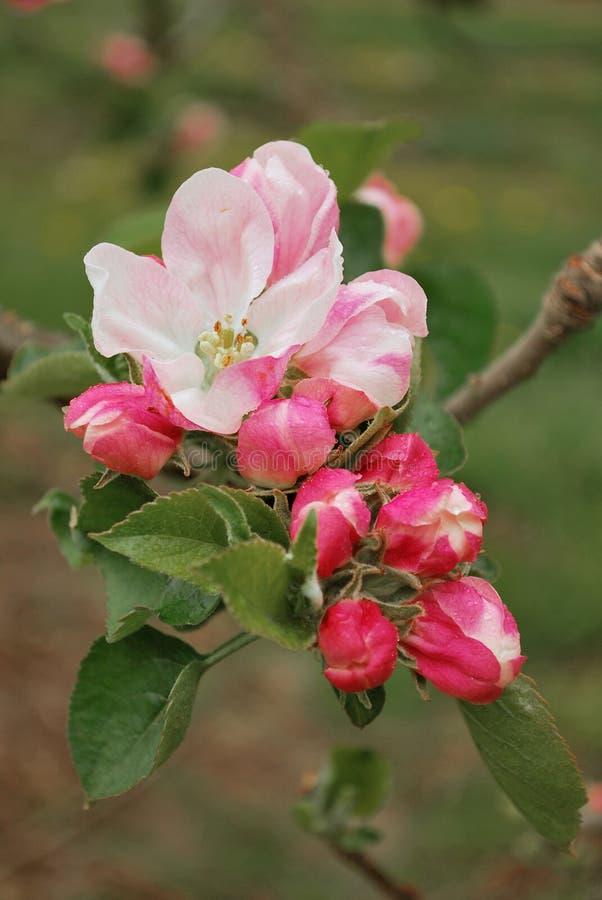 jabłczany okwitnięcie zdjęcia royalty free