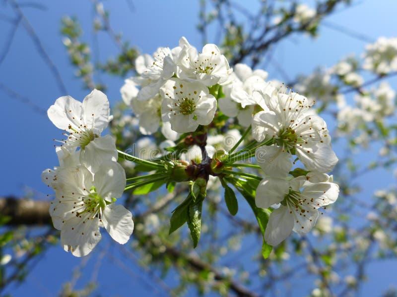 Jabłczany okwitnięcie - biel obraz royalty free