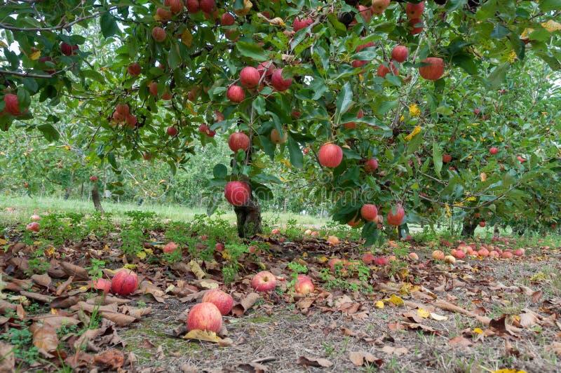 Jabłczany sad z dojrzałymi czerwonymi jabłkami wiesza na drzewach obraz royalty free