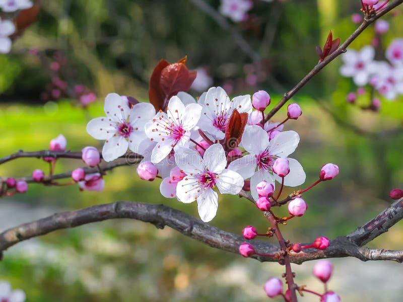 jabłczanych głębii pola kwiatów płytki drzewo zdjęcia royalty free