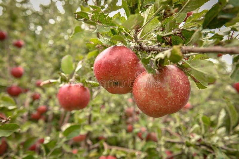 jabłczanych jabłek gałęziasty owoc liść sad Organicznie czerwoni dojrzali jabłka fotografia stock