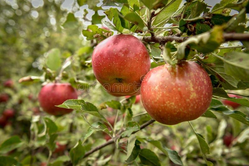 jabłczanych jabłek gałęziasty owoc liść sad Organicznie czerwoni dojrzali jabłka obraz royalty free