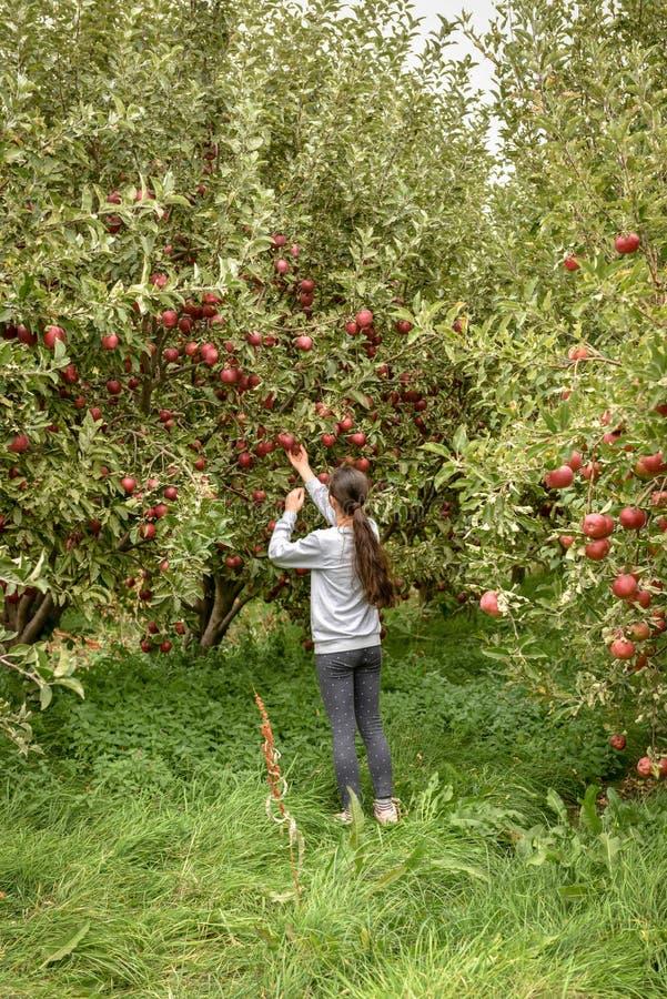 jabłczanych jabłek gałęziasty owoc liść sad Organicznie czerwoni dojrzali jabłka obraz stock