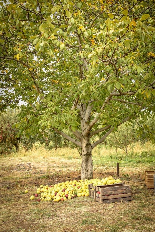 jabłczanych jabłek gałęziasty owoc liść sad Organicznie czerwoni dojrzali jabłka zdjęcie stock