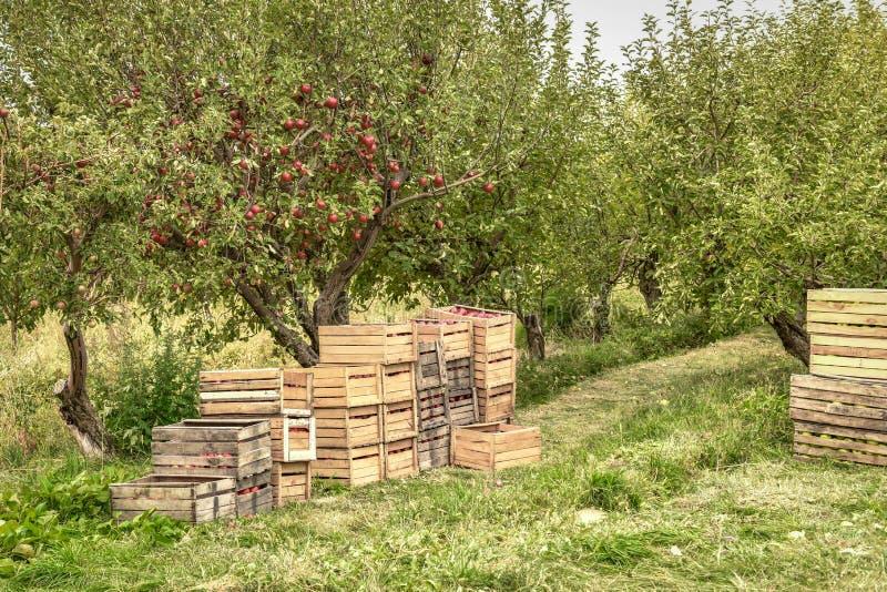 jabłczanych jabłek gałęziasty owoc liść sad Organicznie czerwoni dojrzali jabłka zdjęcia royalty free