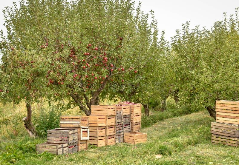 jabłczanych jabłek gałęziasty owoc liść sad Organicznie czerwoni dojrzali jabłka zdjęcie royalty free