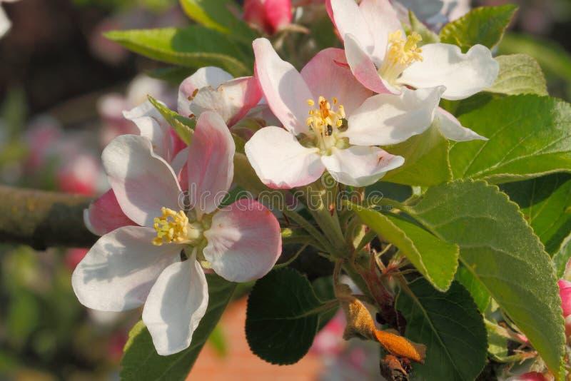 Download Jabłczanych Kwiatu Okwitnięć Gałęziasty Wiosna Drzewo Obraz Stock - Obraz złożonej z zbliżenie, tło: 42525751