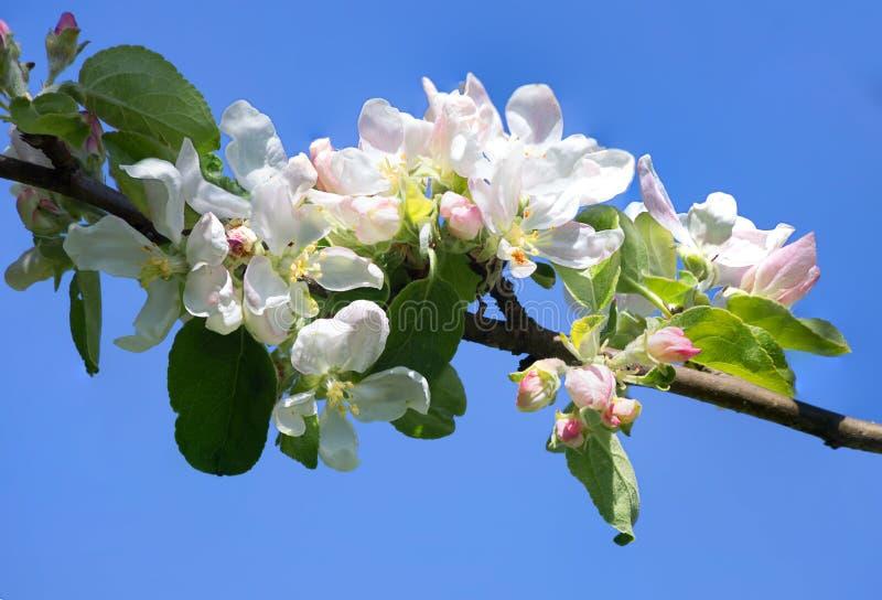 jabłczanych kwiatu okwitnięć gałęziasty wiosna drzewo obraz stock