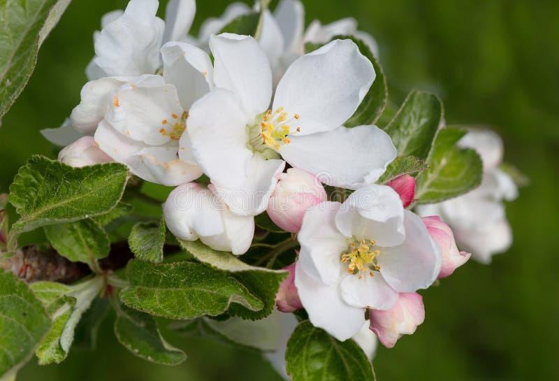 jabłczanych kwiatu okwitnięć gałęziasty wiosna drzewo fotografia royalty free