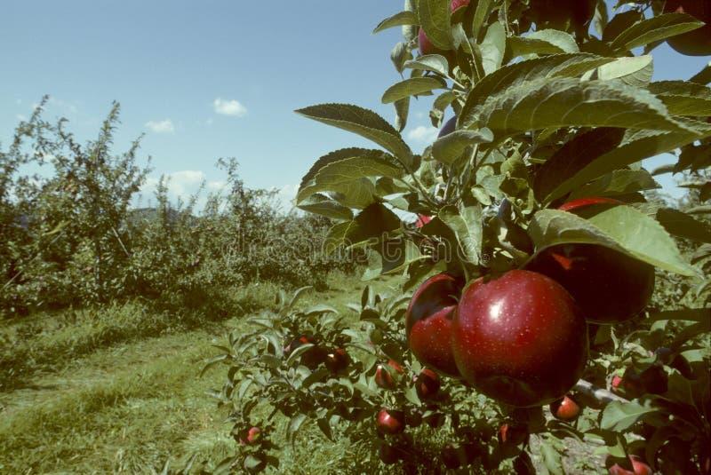 jabłek imperium sadu czerwieni drzewo fotografia royalty free