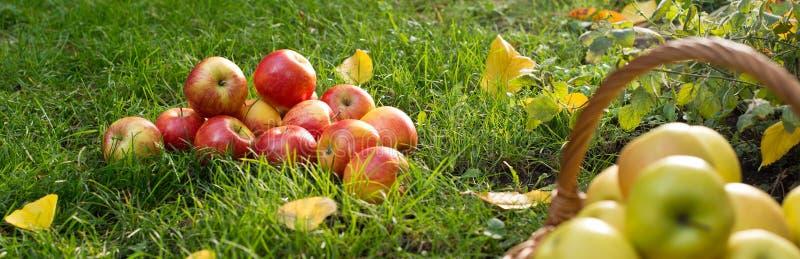 jabłek rozsypiska czerwień obraz royalty free