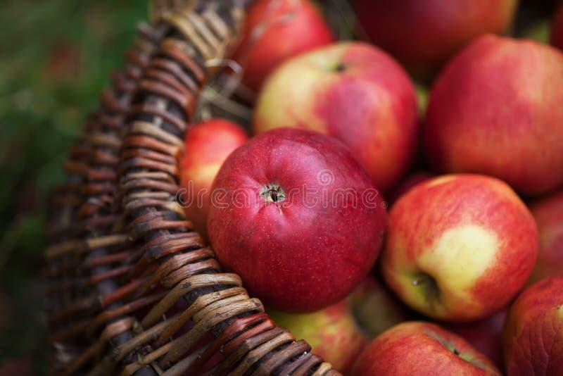 Jabłka świeży żniwo Jesieni ogrodnictwo Dziękczynienie Dzień obrazy stock