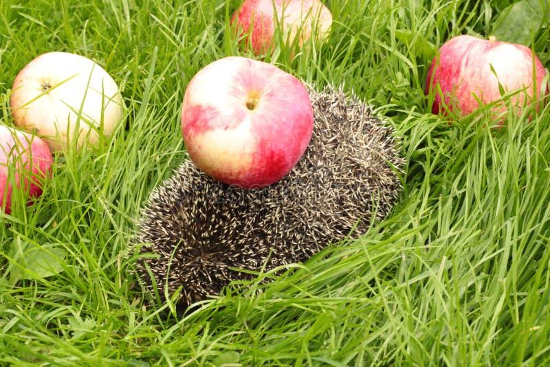 Jabłka na jeżu fotografia royalty free