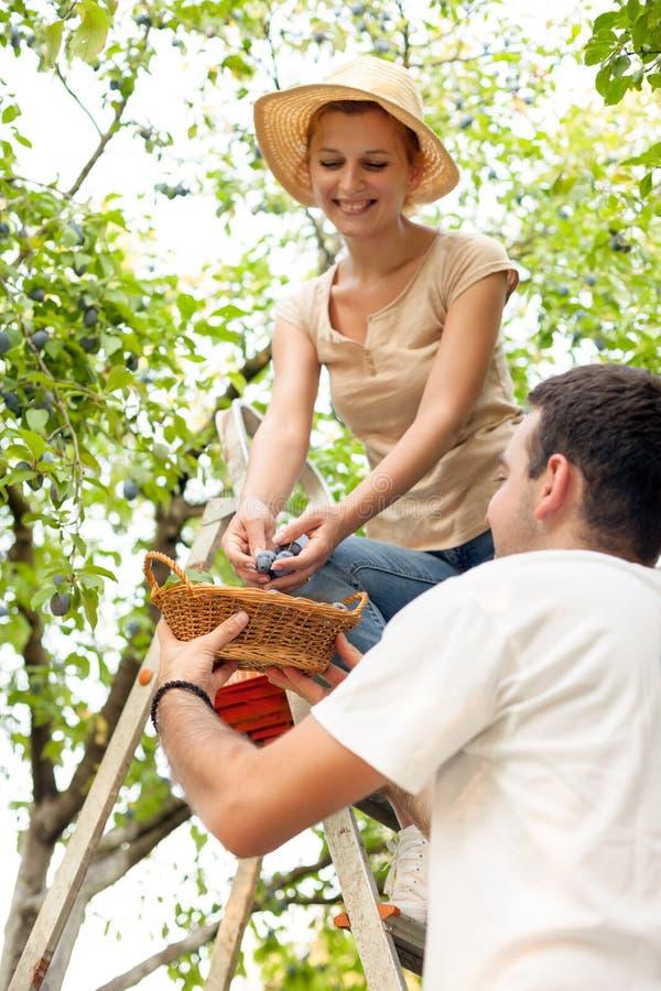 jabłka ogrodowego zmielonego żniwa dojrzały czas drzewo zdjęcie stock