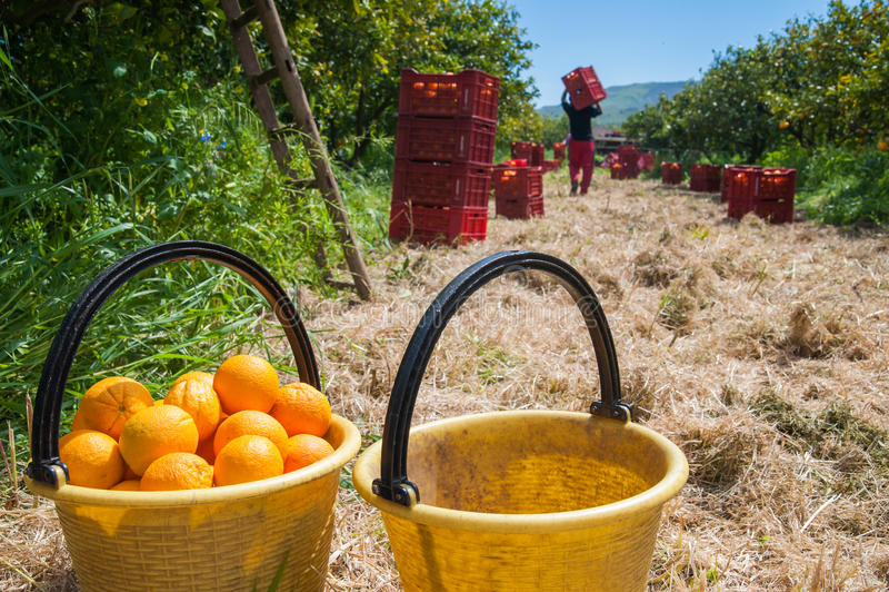 jabłka ogrodowego zmielonego żniwa dojrzały czas drzewo zdjęcia royalty free