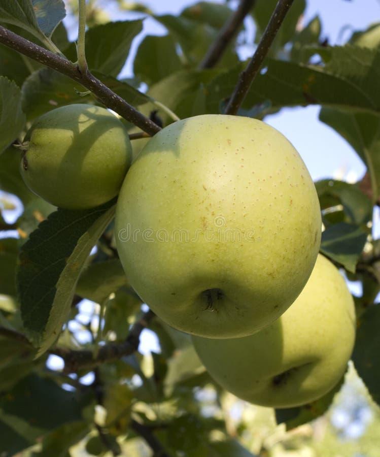jabłka strobist zdjęcie royalty free