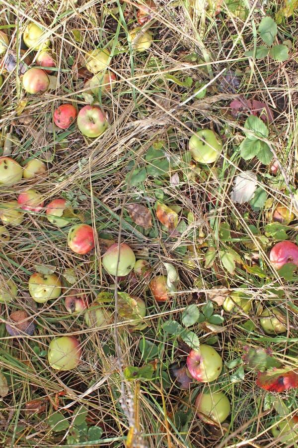 Jabłka w trawie fotografia stock