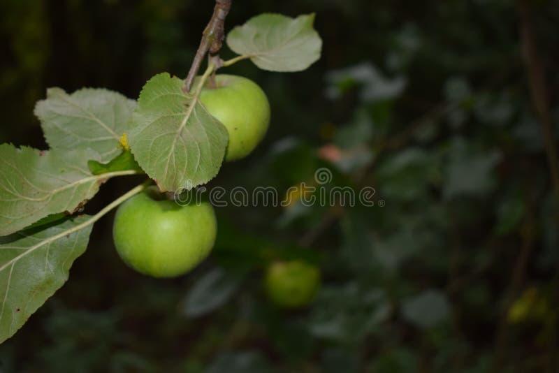 Jabłka wiesza z drzewa zdjęcie stock