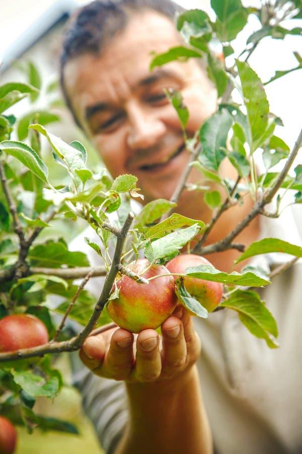 Jabłka zbierają z rolnikiem fotografia stock