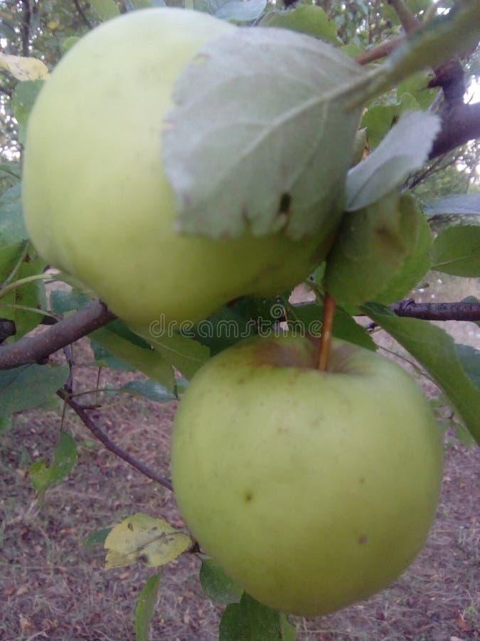 Jabłka zielenieją jabłoń ogród fotografia royalty free