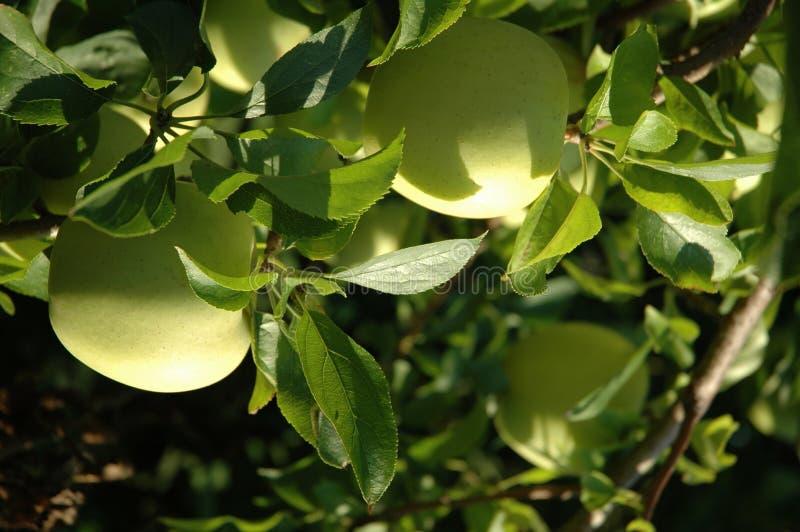 jabłka zielone drzewa zdjęcie stock