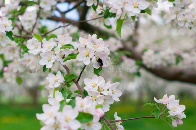 jabłko kwiaty drzewa obraz royalty free