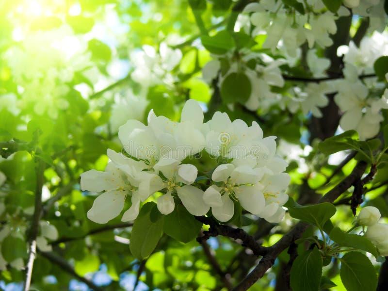 jabłko kwitnie drzewa zdjęcia stock