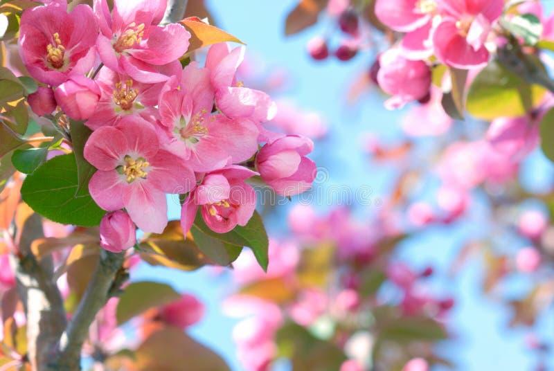 jabłko kwitnie wiosna zdjęcie stock