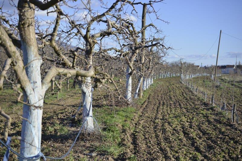 jabłko ogród w wiośnie przed kwitnąć fotografia stock