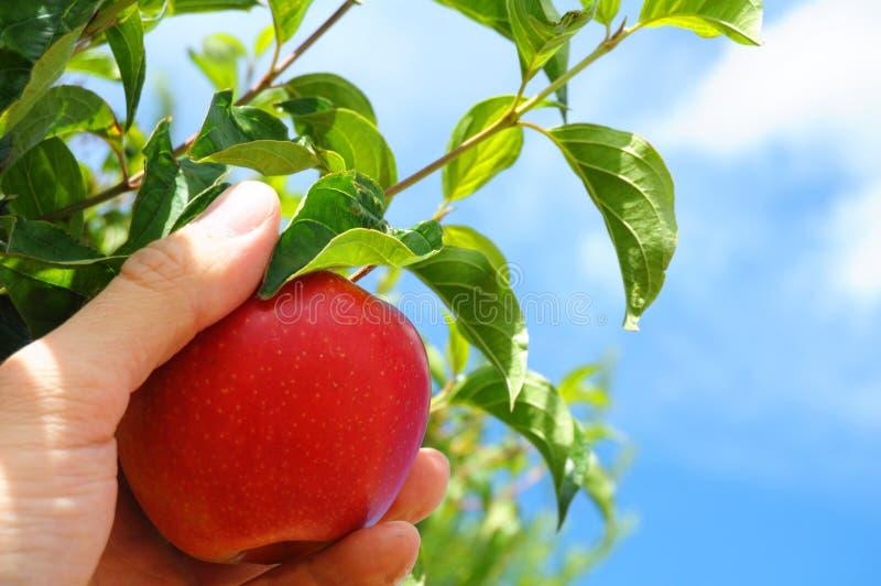 jabłoń obrazy royalty free