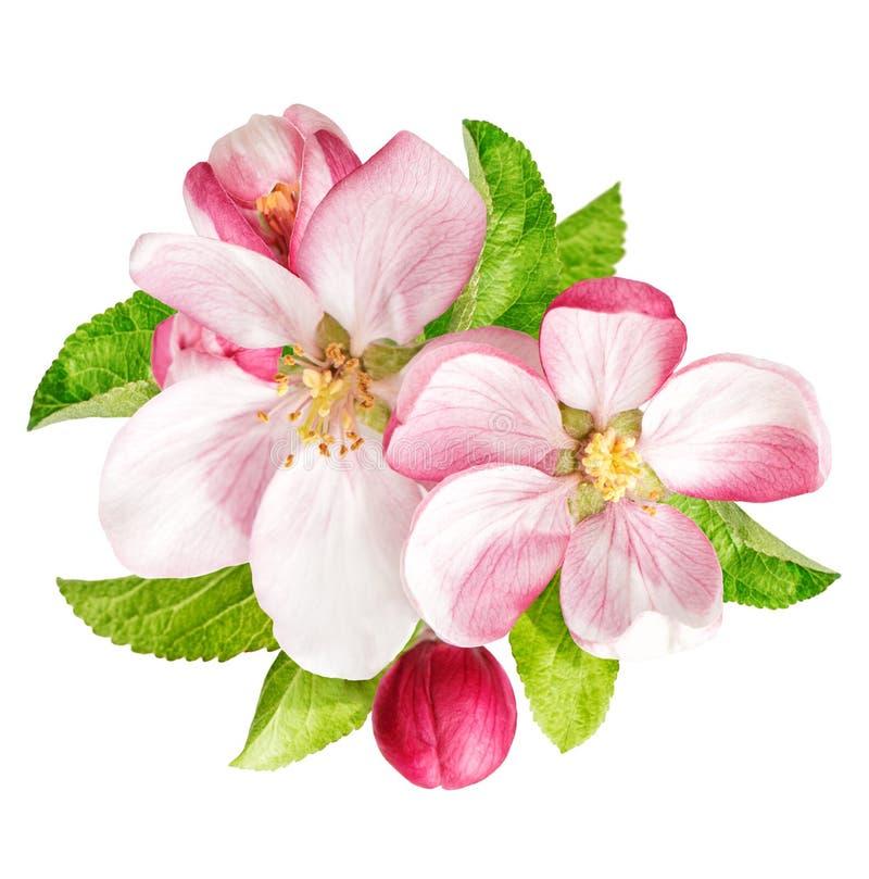 Jabłoń kwitnie z zielonymi liśćmi wiosna kwiat zdjęcia royalty free