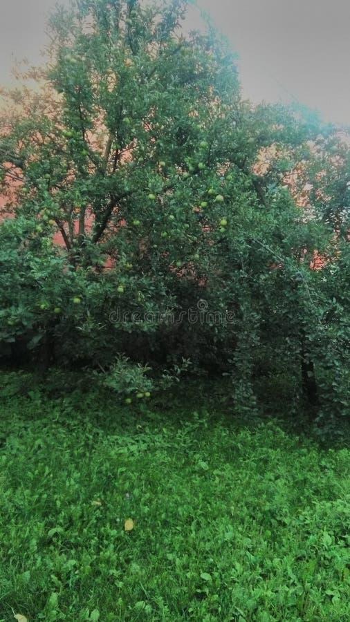 Jabłoń na zielonej trawie zdjęcia stock