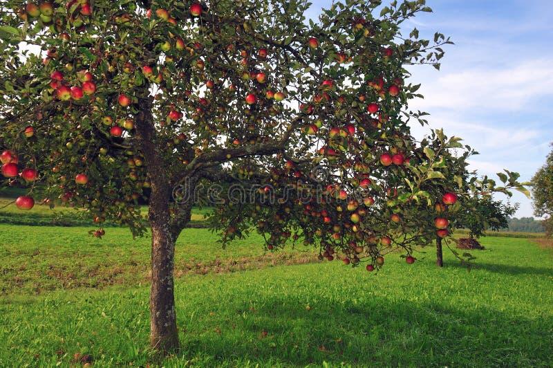 Jabłoń sad obrazy royalty free