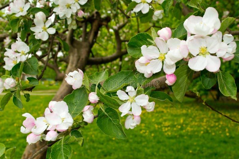 Jabłoń w kwiacie obraz stock