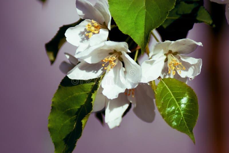 Jabłoń w kwiacie - wiosna sezon fotografia stock