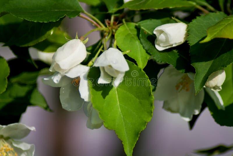 Jabłoń w kwiacie - wiosna sezon fotografia royalty free