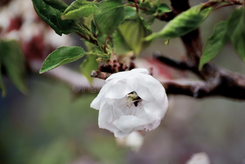 Jabłoń w kwiacie - wiosna sezon obrazy royalty free