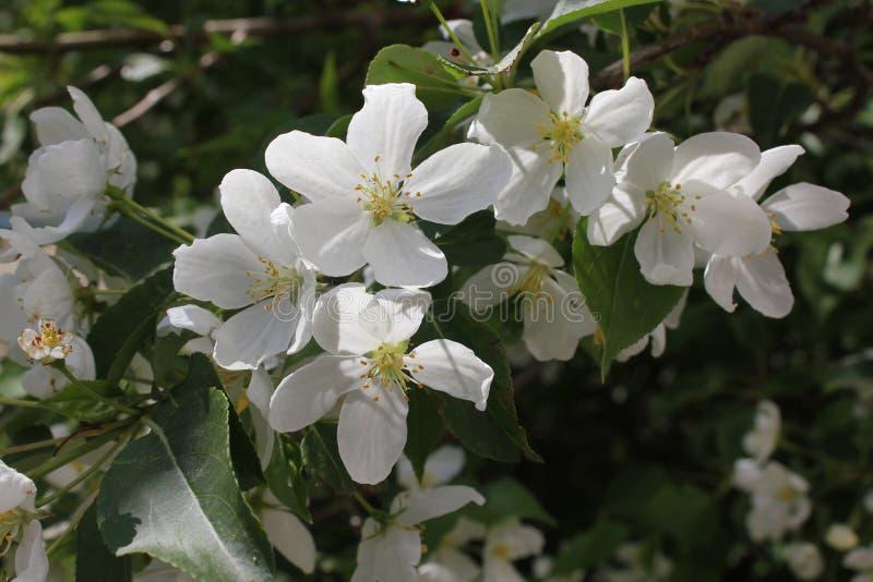 Jabłoń w okwitnięciu z różowym i białym kwiatem 19784 obraz royalty free