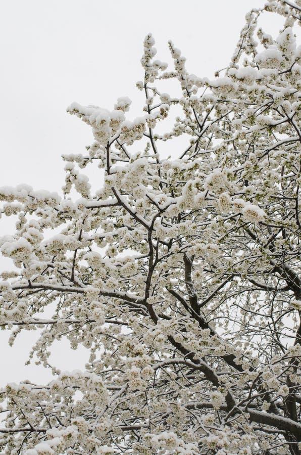 jabłoń zakrywająca śniegiem zdjęcia royalty free