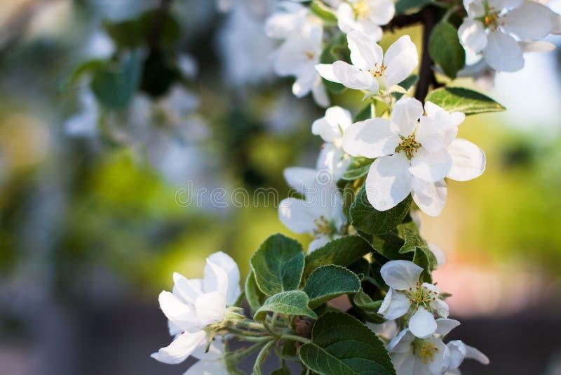 Jabłoni kwitnąca gałąź zdjęcia stock