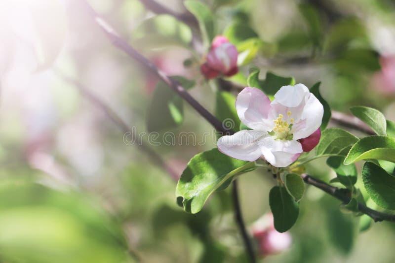 Jabłoni kwitnienia kwiat fotografia royalty free