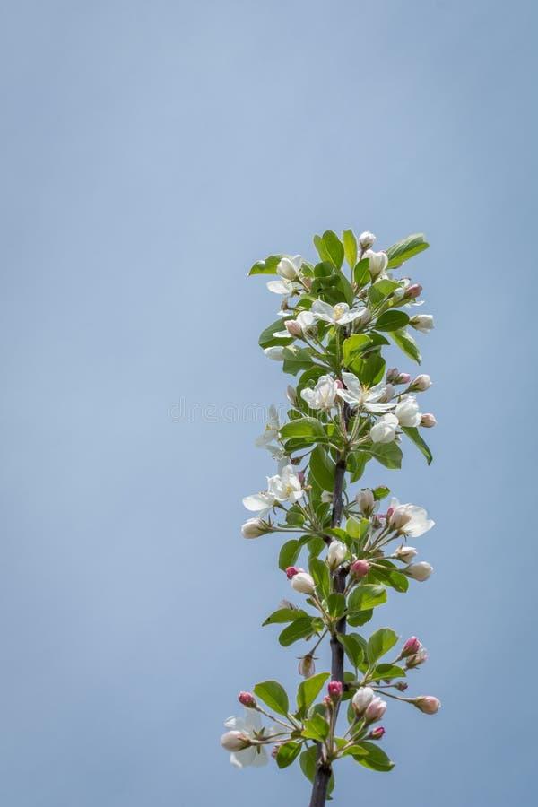 Jabłoni okwitnięcie przy Midewin krajowymi tallgrass prerie, Illinois obraz stock