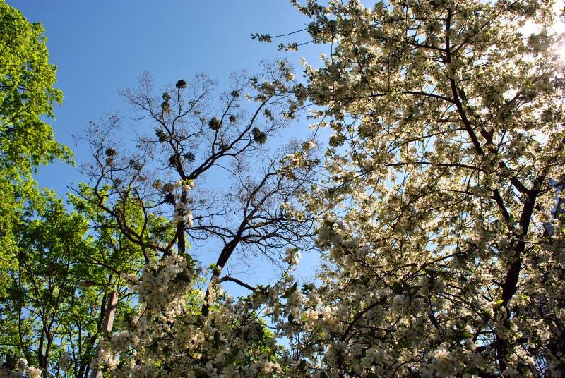 Jabłoni okwitnięcie, topolowy drzewo z potomstwo zielenią opuszcza na wierzchołku, srebnym klonowego drzewa zieleni okwitnięciu i zdjęcie stock