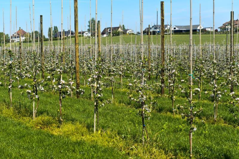 Jabłoni plantacja z młodymi drzewami zdjęcia royalty free
